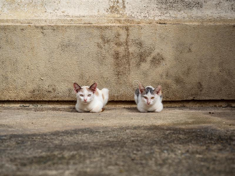 Two kittens is colors white sitting at Wat kaew Bangkok Thailand,Cat look me stock photos