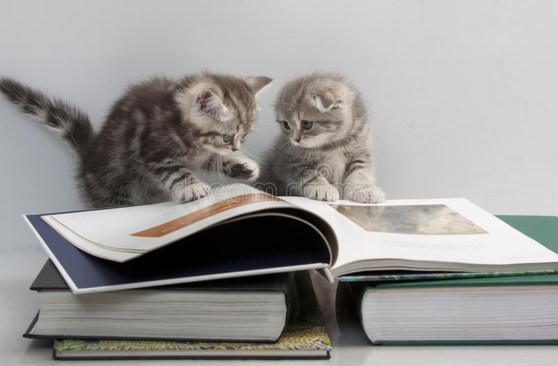Two kittens are considering a book. Scottish Fold cats are considering a book stock photo