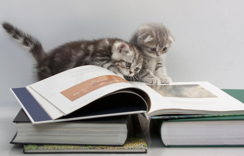 Two kittens are considering a book. Scottish Fold cats are considering a book royalty free stock photography