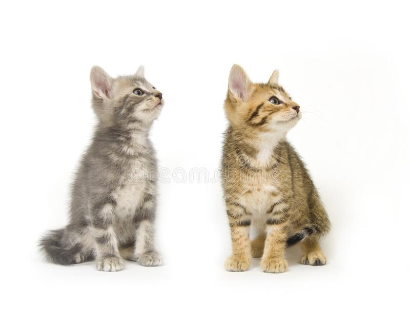 Two kittens looking right stock images