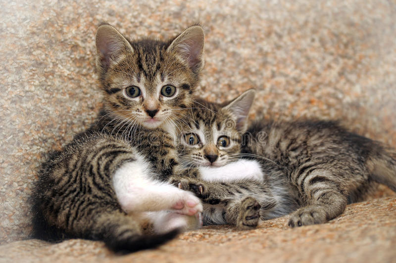 Two kittens playing. Closeup of two kittens playing stock photo