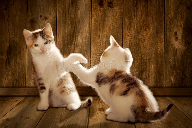 Two kittens are playing. On a wooden floor stock photo