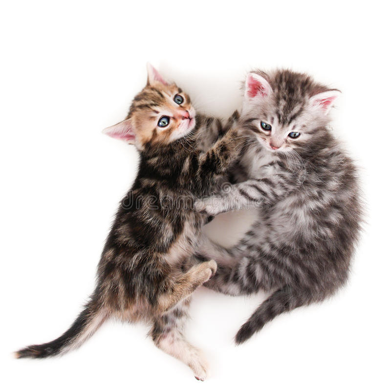 Two kittens pose playfully on white background royalty free stock photography