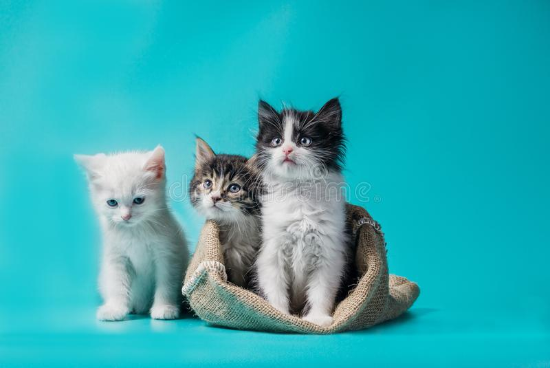 Two kittens in a sack and one next to the bag on a turquoise background stock photography