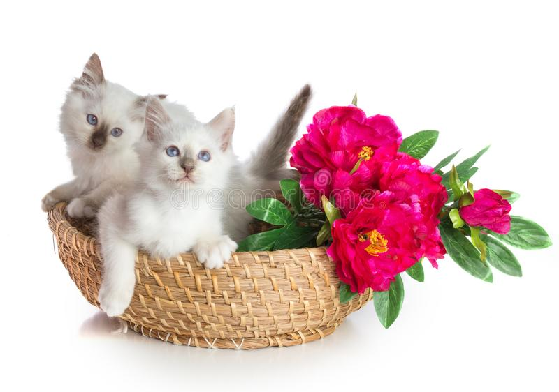 Two kittens, sacred Cat of Burma in basket with flowers. On white background stock photo