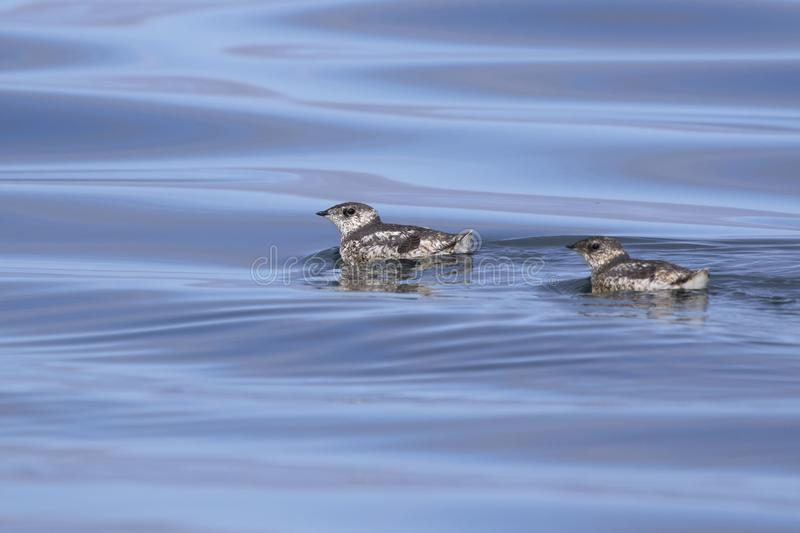 Two kittlitzs murrelet that are floating on the water on a su. Mmer day stock photo