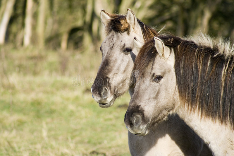 Two Konik Horses. Two small semi-wild Polish Konik horses royalty free stock photos