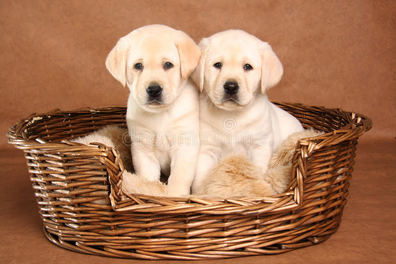 Two lab puppies royalty free stock photos