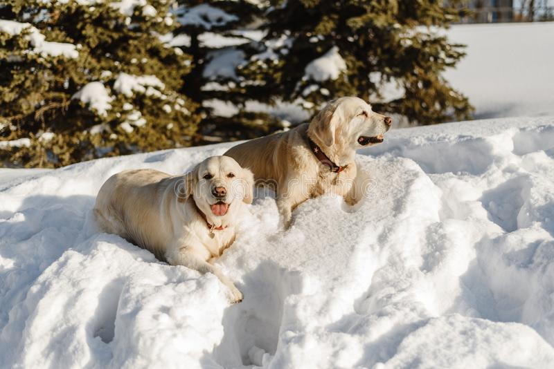 Two labrador dogs in the snow stock images