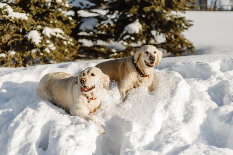 Two labrador dogs in the snow stock photography