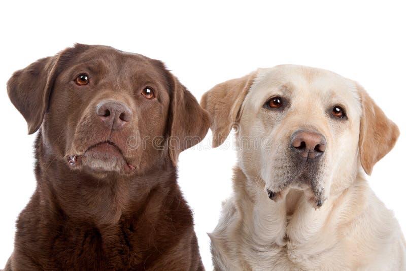 Two Labrador Retriever dogs stock image