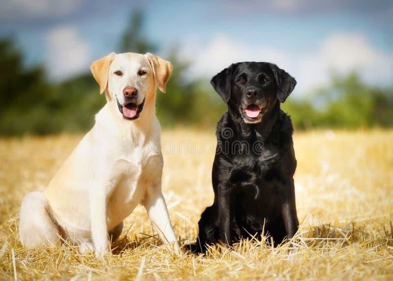 Two labradors royalty free stock photos