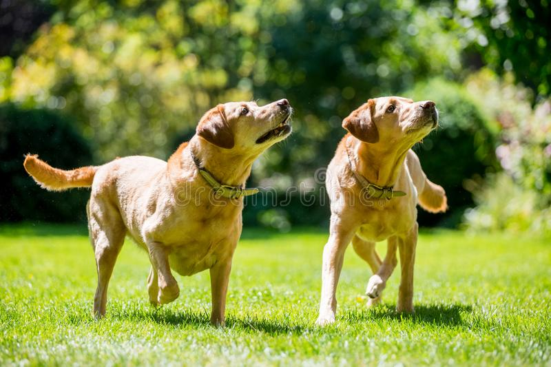 Two Labradors about to catch a ball or stick from the front on a sunny day. A sandy labrador retriever dog in a field, meadow, park or forest. Toward the stock photo