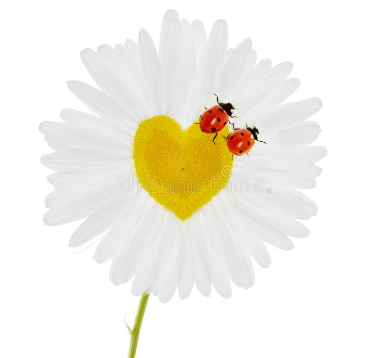 Two ladybirds on chamomile in the form of heart stock image