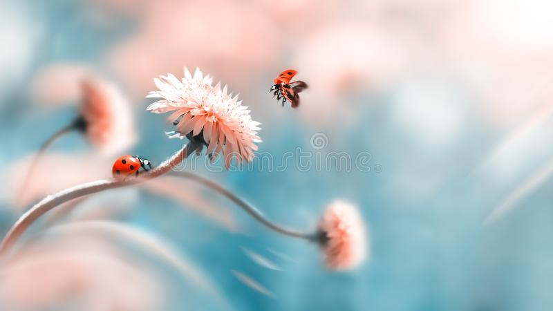 Two ladybugs on a orange spring flower. Flight of an insect. Artistic macro image. Concept spring summer. royalty free stock image