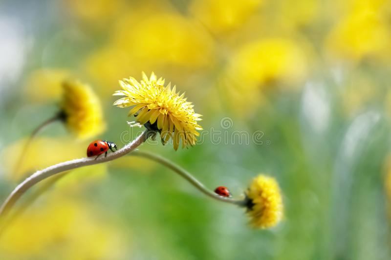 Two ladybugs on a yellow spring flower. Artistic macro image. Concept spring summer. stock images