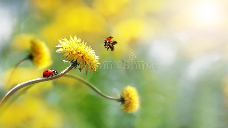 Two ladybugs on a yellow spring flower. Flight of an insect. Artistic macro image. Concept spring summer. Free space royalty free stock photography