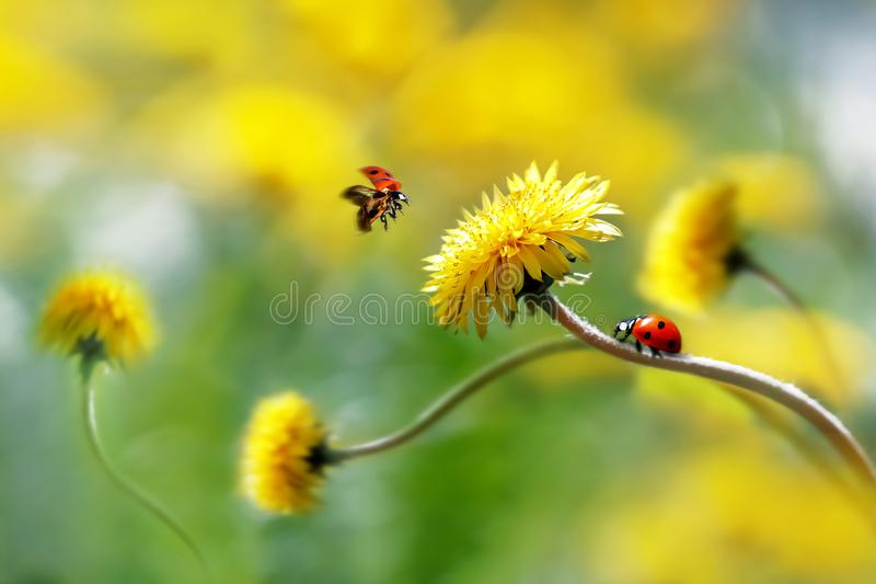Two ladybugs on a yellow spring flower. Flight of an insect. Artistic macro image. Concept spring summer royalty free stock images