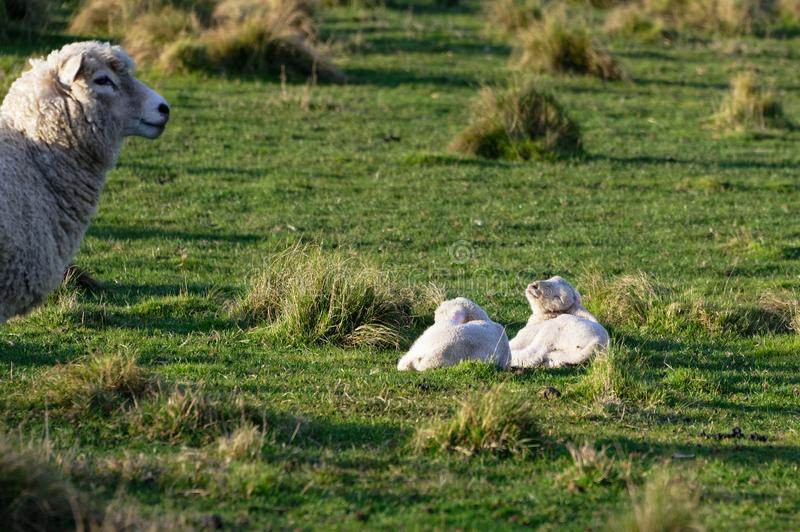 Two lambs are lying on the grass as their mother looks on royalty free stock image