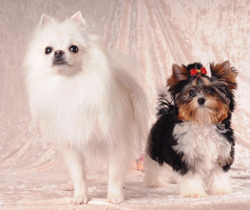 Download Two lap dogs stock image. Image of yorkshire, near, white - 21445111