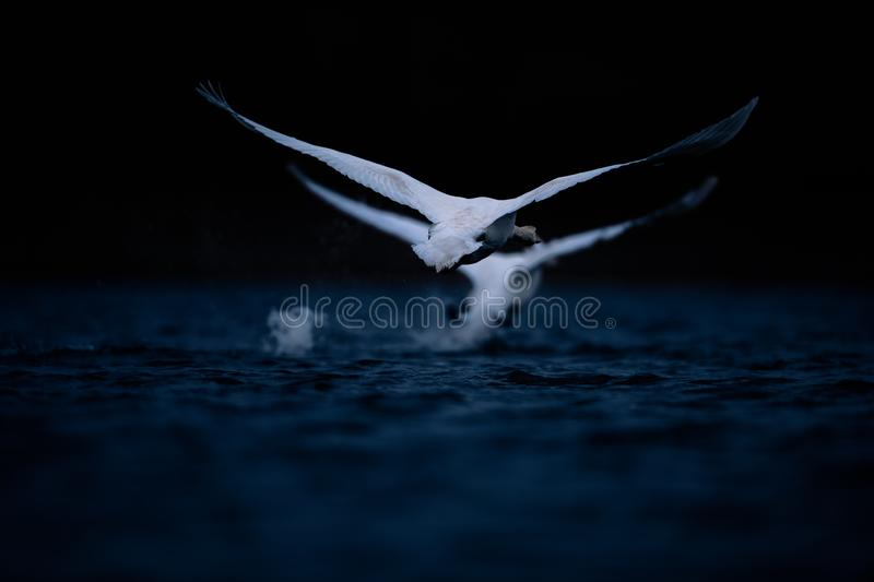 Two Swans Taking Off on Dark Blue Water royalty free stock photos