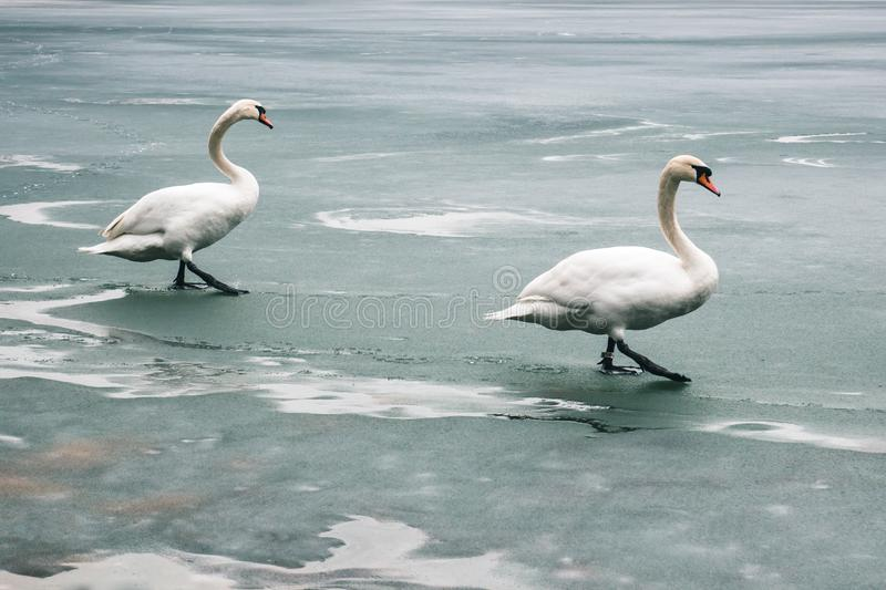 Two large beautiful white swans walk on the ice covered lake.  royalty free stock photography
