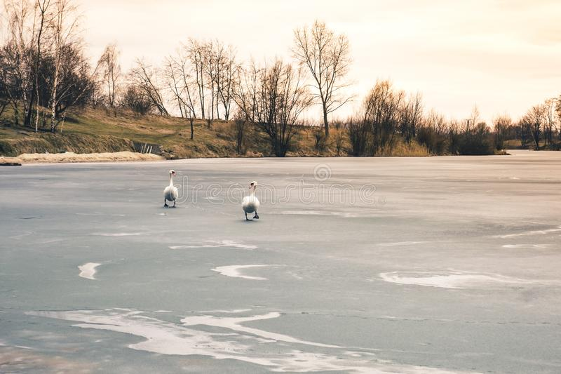 Two large beautiful white swans walk on the ice covered lake at. Sunset royalty free stock photos