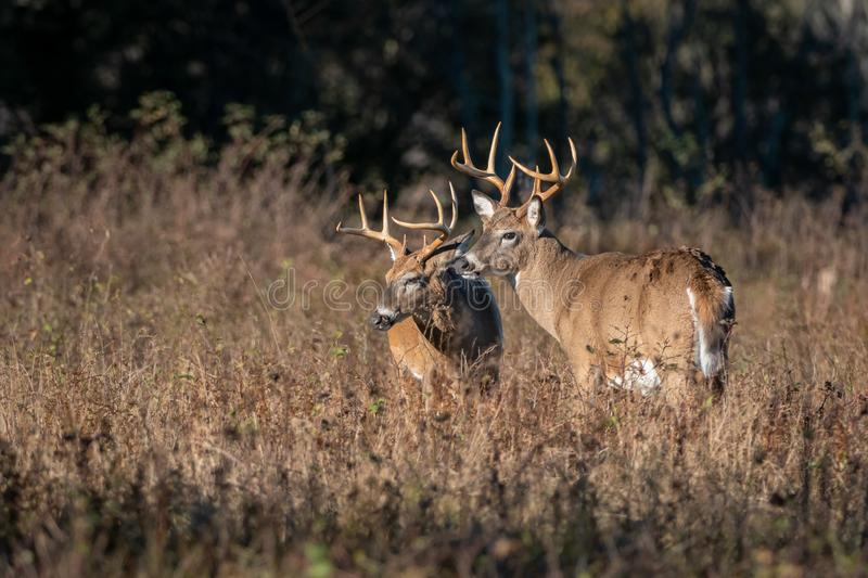 Portrait of two large bucks. Two large bucks pose for a portrait on an early morning in the meadow royalty free stock image