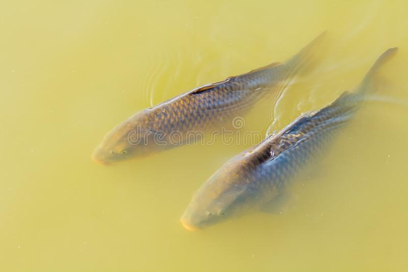 Two large carp swimming along surface of wter. Pair of wild large European carp at surface of the water stock image