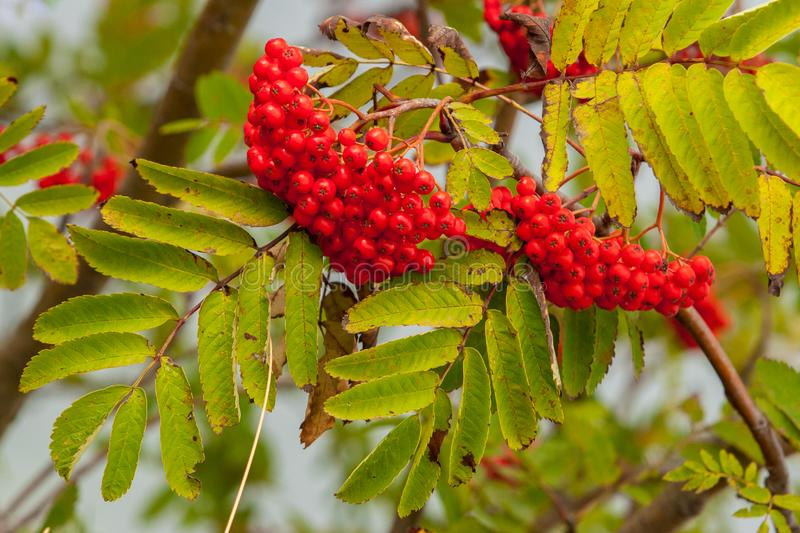 Two large clusters of ripe red mountain ash on branches in the sun stock image