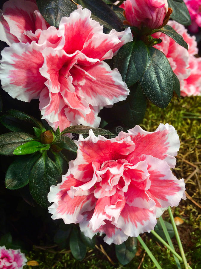 Two large flower azalea. Blossom red-white petals background of green leaves variegated motley varicoloured pied particolored many-colored party-coloured party royalty free stock image