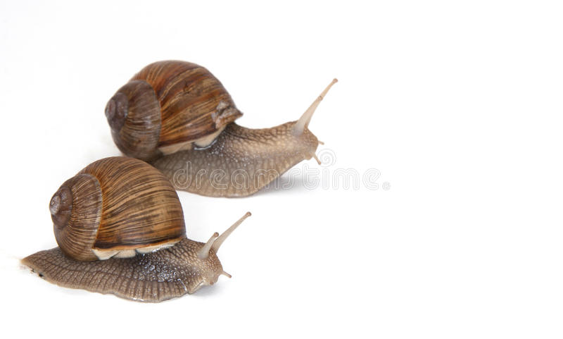 Two Large garden snails. On white background crawling in the same direction royalty free stock image