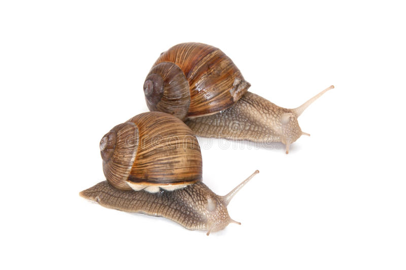 Two Large garden snails. On white background crawling in the same direction royalty free stock images