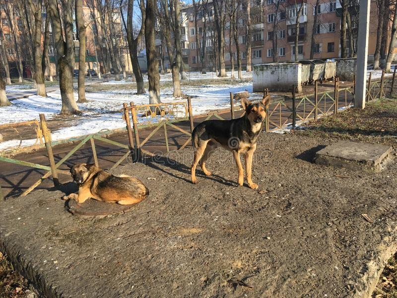 Two large homeless dogs warm up in the day-time in winter near the hatches of heating main stock images