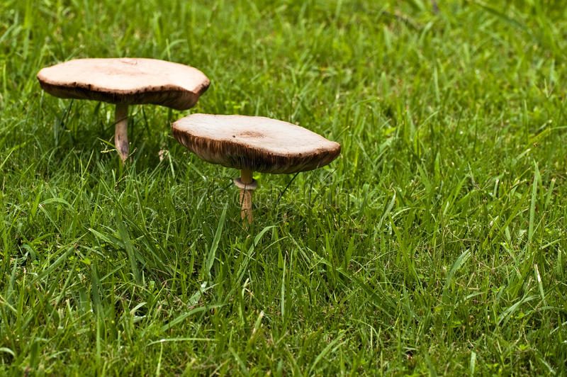 Two Large Mushrooms royalty free stock photos