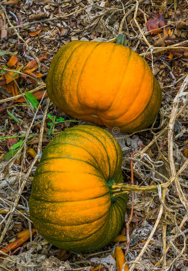 Two large orange with a little green halloween pumpkins cultivated in an organic garden royalty free stock photo