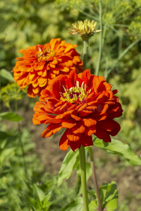 Two large red flowers of Zinnia elegans dahliaeflora with green leaves, vertical. Flower garden decoration, ornamental annual royalty free stock photo