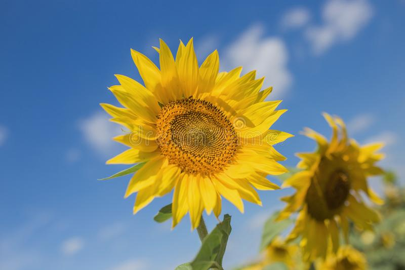 Two large sunflowers on a close-up field against a blue sky background royalty free stock photo