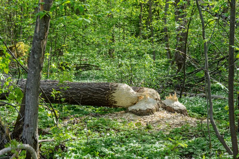 Two large trees cut down by beavers. Large trees in a green forest fallen to the ground, recently cut down by beavers stock photography