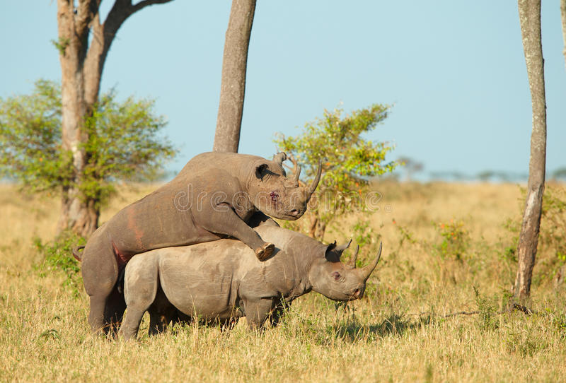 Two Large white rhinoceros mating. Two Large white (square-lipped) rhinoceros (Ceratotherium simum) mating in the nature reserve in South Africa stock photos