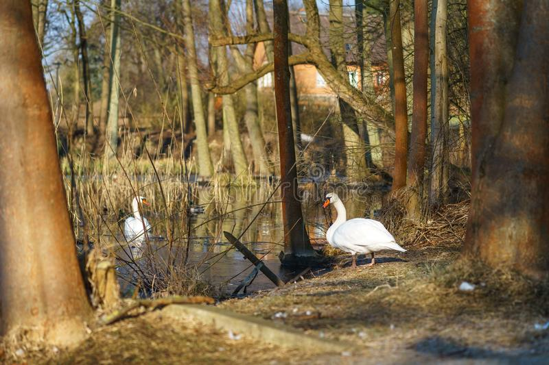 Two large white swans Cygnus olor royalty free stock image