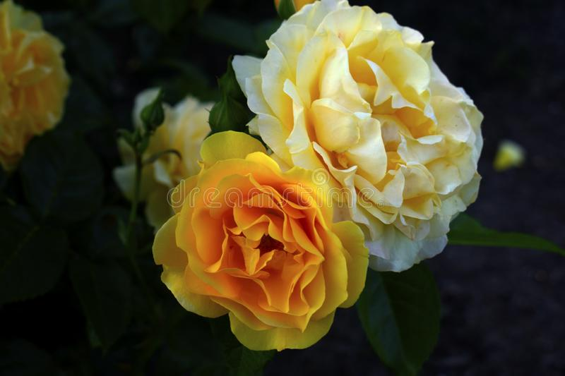 Two Large Yellow Roses -06 royalty free stock photo