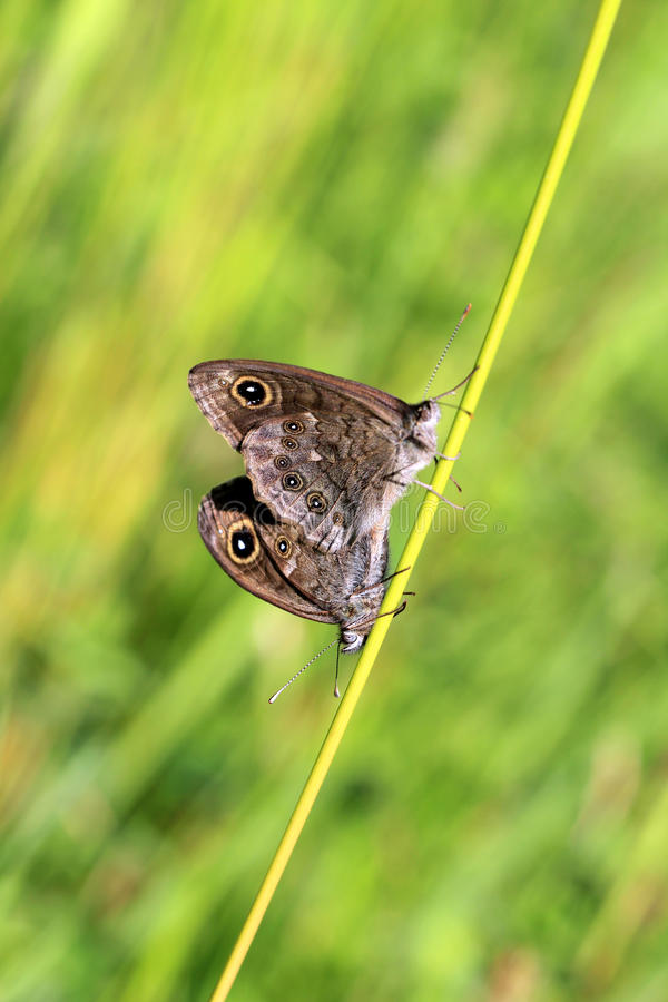 Two Lasiommata Maera Butterflies Mating Royalty Free Stock Images