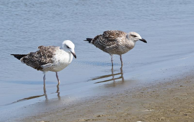 Download Two Laughing Gulls Stock Photos - Image: 26692933