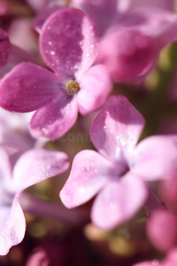 Two lavender lilac flowers with rich color. With many little light spheres, beautiful, graceful, romantic, in the springtime in the garden of ours, peaceful royalty free stock images