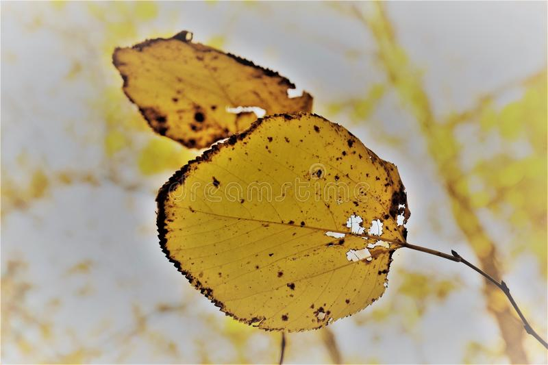 Two Leafs royalty free stock photography
