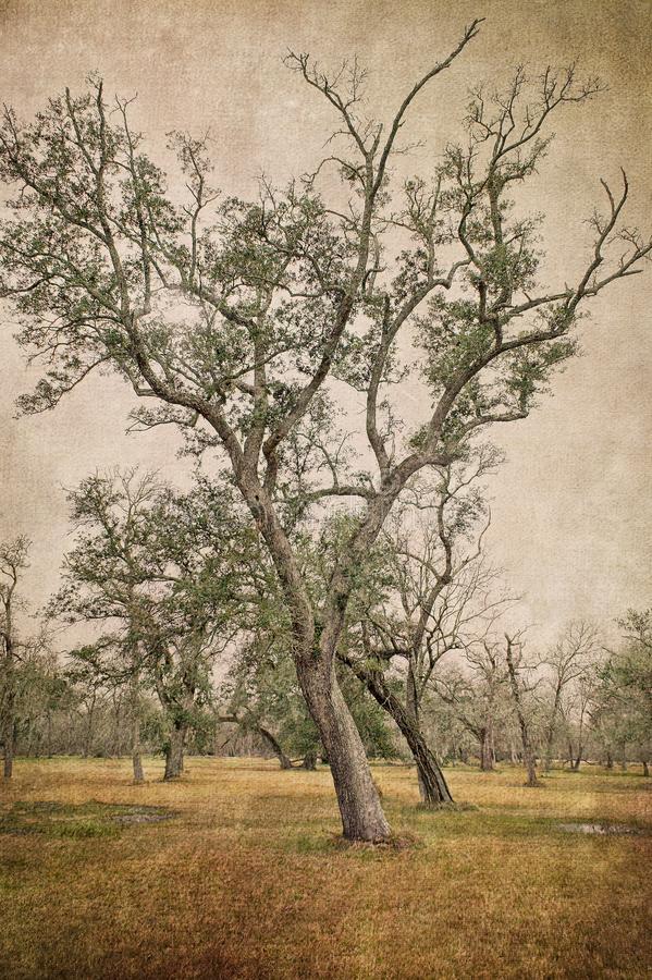 Two Leaning Southern Live Oak Trees stock photography