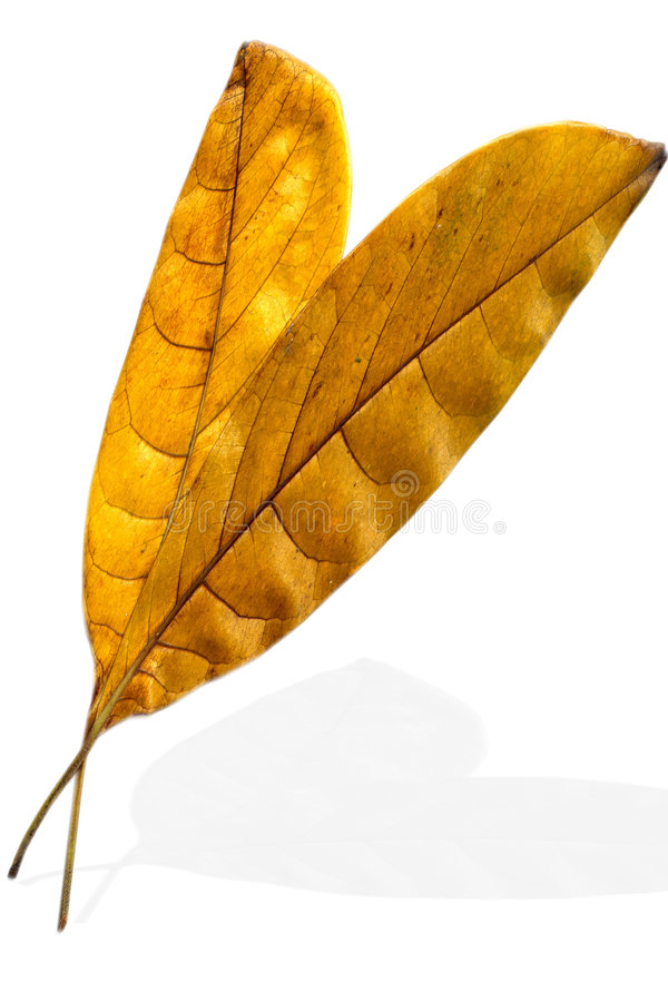 Two leaves royalty free stock images