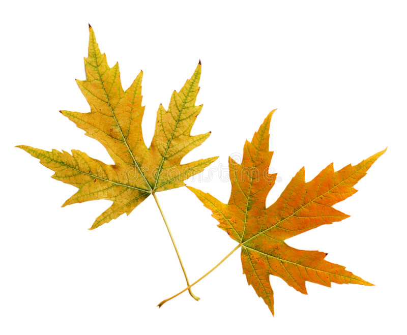 Download Two Leaves Stock Photography - Image: 6556012