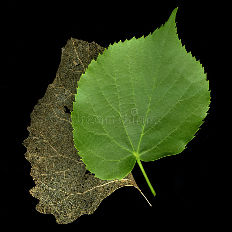 Download Two Leaves - Concept Of Time Passing Or Old And Ne Stock Photo - Image: 5414178